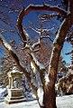 """Cincinnati - Spring Grove Cemetery & Arboretum """"Snow-Capped Branches"""" (5417456402).jpg"""