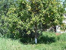 Насіння Лимо́н, цитри́на, лимо́нне де́рево (Citrus × limon)