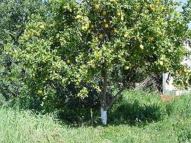 Citrus limon a.JPG