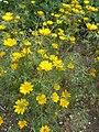 Cladanthus arabicus (Compositae) plant.JPG