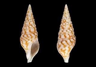 <i>Clavatula solangeae</i> species of mollusc