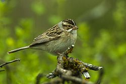 Clay-colored Sparrow - Texas - USA H8O3139 (23095837990).jpg