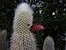 Cleistocactus strausii (70386).jpg