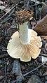 Clitopilus prunulus (Scop.) P. Kumm 725591.jpg