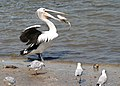 Clontarf Pelican having dinner -01and (3460438411).jpg