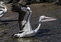 Clontarf Pelican take-off-02 (7833462072).jpg