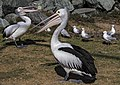 Clontarf Pelicans waiting for food-01 (7818057122).jpg