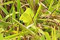 Cloudless Sulphur (Phoebis sennae marcellina), Galapagos.jpg