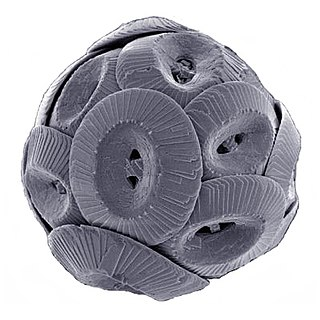 Coccolithophore Unicellular algae responsible for the formation of chalk