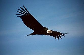 Condor - Andean condor soars over southern Peru's Colca Canyon