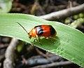 Coleoptera. Chrysomelidae Galerucinae (48692460736).jpg