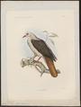 Columba meyeri - 1868 - Print - Iconographia Zoologica - Special Collections University of Amsterdam - UBA01 IZ15600185.tif