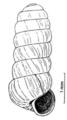 Columella columella columella shell.png