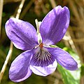 Common Dog Violet (Viola riviniana) (geograph 2920721).jpg