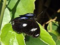 Common Eggfly (Hypolimnas bolina) male.jpg