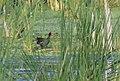 Common Gallinule (34226075623).jpg
