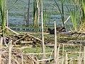 Common Gallinule (34872528672).jpg