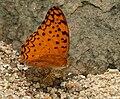 Common Leopard (Phalanta phalantha) mud-puddling W IMG 0228.jpg