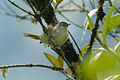 Common Thornbird - South Ecuador S4E2527 (16725915856).jpg