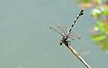 Common Tigertail (Ictinogomphus ferox) (15870816424).jpg