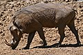 Common Warthog (Phacochoerus africanus) male (32271866883).jpg