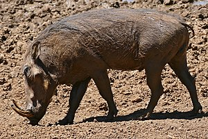 Common warthog - Male,  Kruger National Park, South Africa