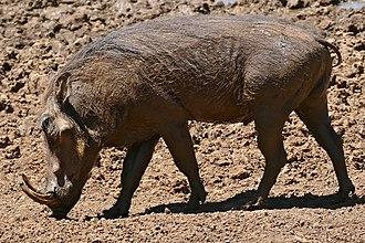 Common warthog - Male,  Kruger National Park, South Africa