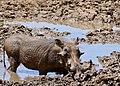 Common Warthog (Phacochoerus africanus) male ... (50217907677).jpg