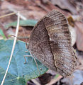Common bush brown Dry season form - Bicyclus safitza.JPG