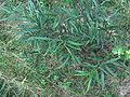 Comptonia peregrina Flickr.jpg