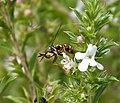 Conops quadrifasciatus female (35944512494).jpg