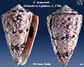 Conus araneosus 3.jpg