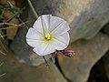 Convolvulus cneorum (flower).jpg