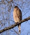 Cooper's hawk (72491).jpg