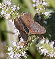 Copper Butterfly 4 (3837314753).jpg