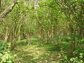Coppiced woodland with bluebells - geograph.org.uk - 426972.jpg