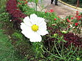 Coreopsis rosea-1-yercaud-salem-India.JPG