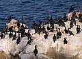 Cormorants in La Jolla (70596).jpg