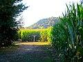 Corn Maze - panoramio.jpg