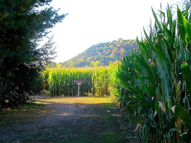 File:Corn Maze - panoramio.jpg