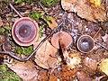 Cortinarius anthracinus 041031w.jpg