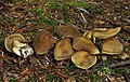 Cortinarius melanotus braunnetziger raukopf.jpg