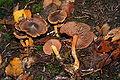 Cortinarius semisanguineus 20061129wa.jpg