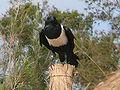 Corvus albus 0013.jpg