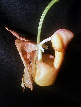 Coryanthes mastersiana Orchi 01.jpg