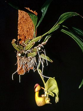 Coryanthes verrucolineata Orchi 02.jpg