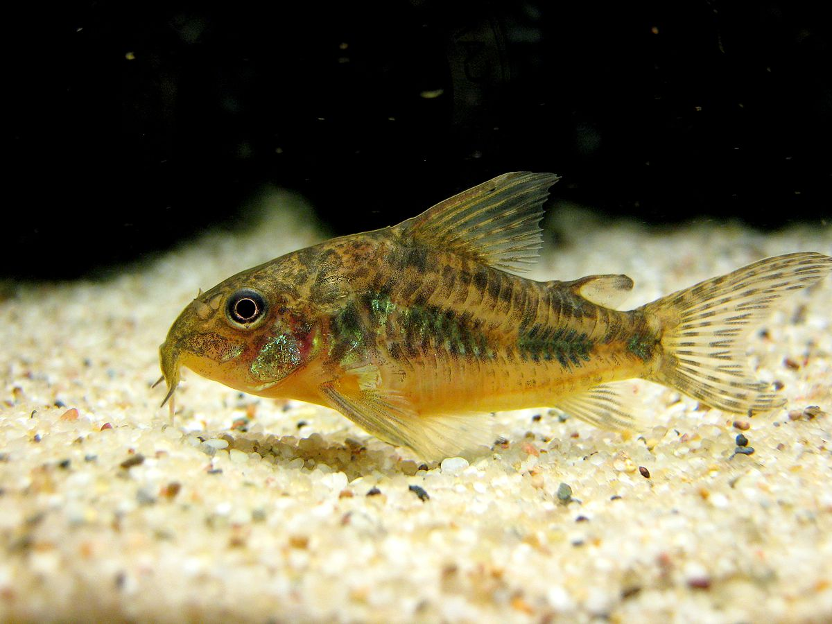 List of corydoras species wikipedia for Bottom feeder fish list