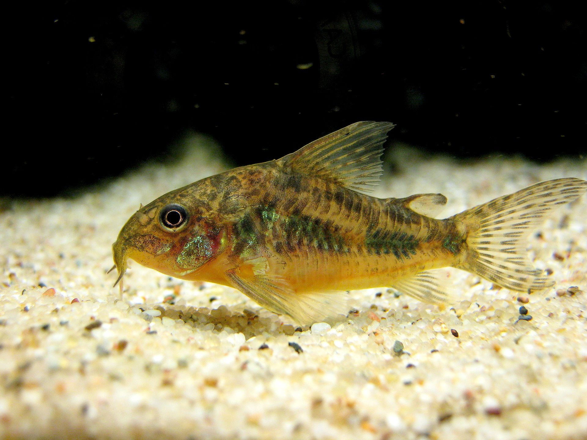 Bottom feeder wikipedia for Bottom feeder fish