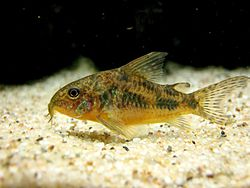 Cories are small catfish which are popular with aquarists - the Pepper ...