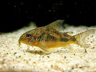 Bottom feeder - A cory catfish, a commonly kept bottom feeder species in freshwater aquaria.